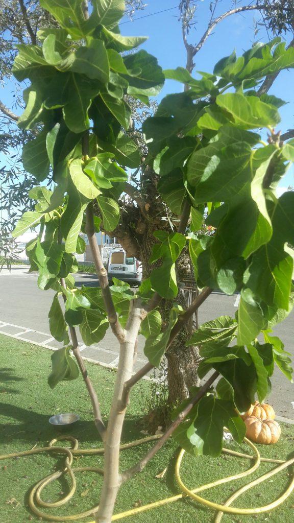 figuier daifruits